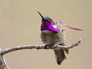 8 best Hummingbirds-Costa's Hummingbird, Calypte costae ...