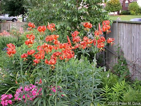 prairie gardens chaign 17 best images about chain link fence garden on