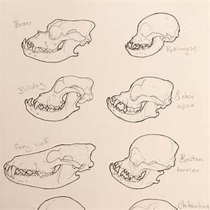 Chihuahua Skeleton Diagram