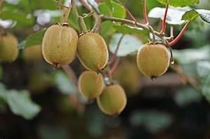 Exotische Früchte Im Eigenen Garten : exotische fr chte im heimischen garten garten blog ~ Lizthompson.info Haus und Dekorationen
