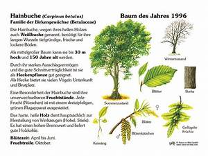 Hainbuche Baum Schneiden : hainbuche baum des jahres 1996 30x40 cm pflanzen ~ Watch28wear.com Haus und Dekorationen