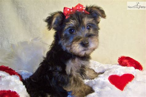 do yorkie poos shed yorkiepoo yorkie poo puppy for sale near st louis