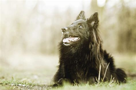 belgian shepherd dog groenendael dogs breed