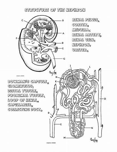 Kidney Nephron Worksheet Diagram Coloring System Key