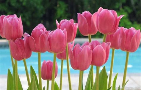 Tulip Flower Image by Tulip Pictures Images Graphics