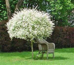 Petit Arbuste Fleuri : les 25 meilleures id es de la cat gorie saule crevette sur ~ Premium-room.com Idées de Décoration