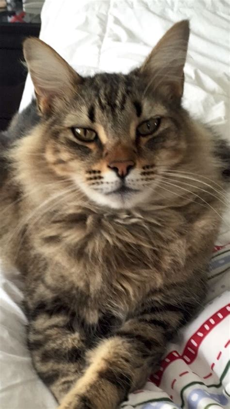 lost missing cat maine coon grayson ga usa