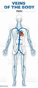 Veins In The Body Anatomy Human Body Stock Illustration