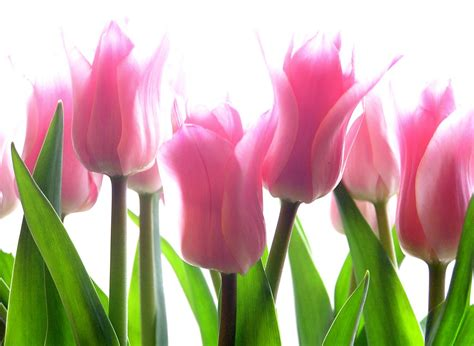 Tulip Image Desktop by Pink Tulip Flowers Hd Wallpaper Hd Wallpaper