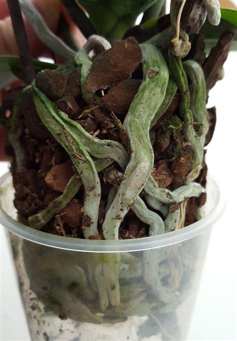arrosage orchidee en pot arrosage orchid 233 e comment et 224 quelle fr 233 quence
