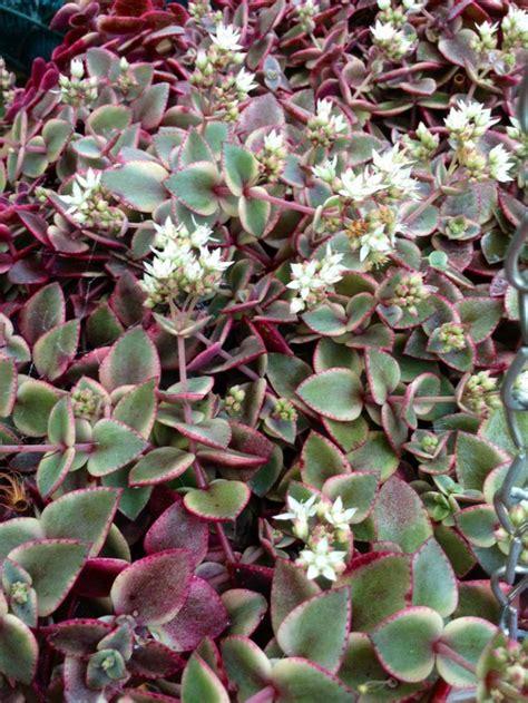 crassula pellucida subsp marginalis variegata