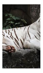 White Tiger Lie 4K HD Wallpapers   HD Wallpapers   ID #31412