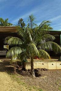 Caring For Your Kentia Palm (Howea forsteriana) | Palms ...