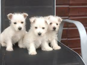 Dog Westie Puppies for Sale