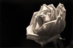 eletragesi: Black Rose Tumblr Background Images