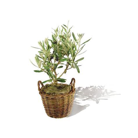 cours de cuisine colmar un olivier en pot 28 images comment planter un olivier