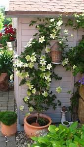 Clematis Pflanzen Kübel : clematis florida alba plena friedrich m westphal clematiskulturen ~ Orissabook.com Haus und Dekorationen