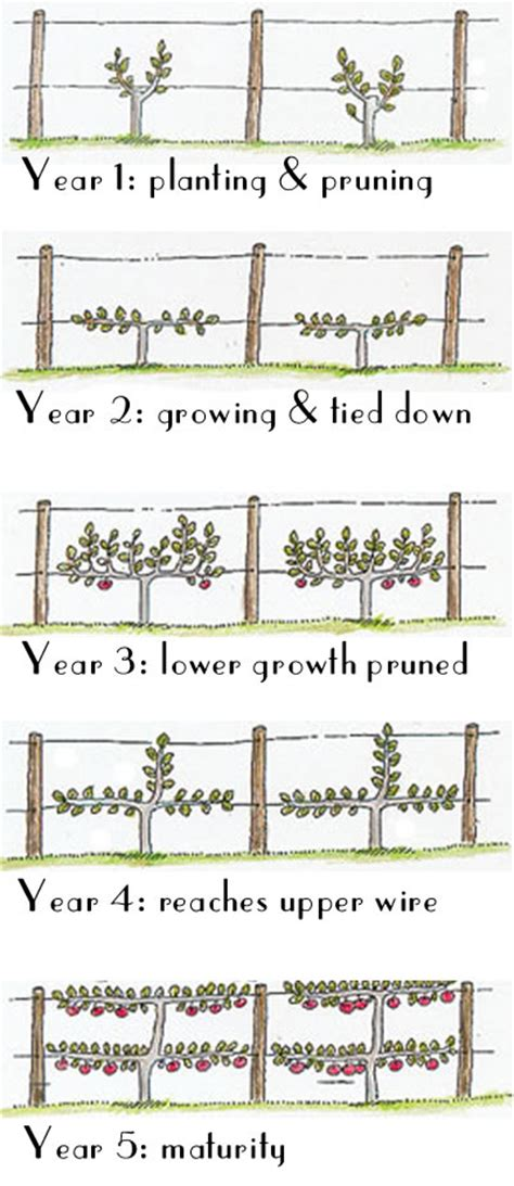 espalier how to glamour drops a quest for the glamorous details in life espalier fruit trees that s natty