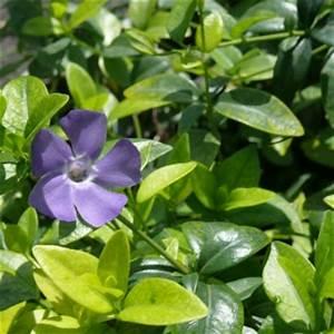 Blau Blühender Bodendecker : robuste bodendecker f rs siegerland geranium cotoneaster efeu gartengestaltung z ller ~ Frokenaadalensverden.com Haus und Dekorationen
