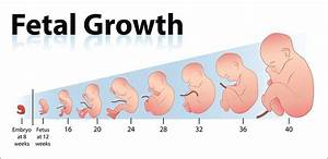 Fetal Development U2014the Way It Goes
