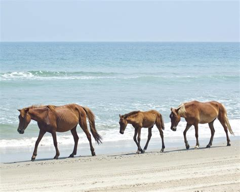 island chincoteague ponies wild assateague beach town riding horses horse maryland pasadena happiest seaside wonders stunning states natural united most