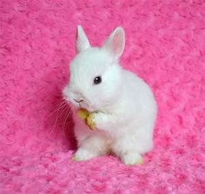 White Netherland Dwarf Bunnies (page 2) - Pics about space