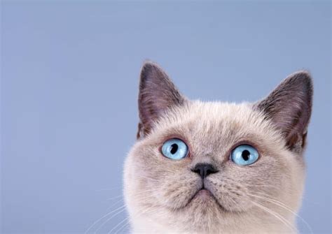 siamese cat much cost does cats cute