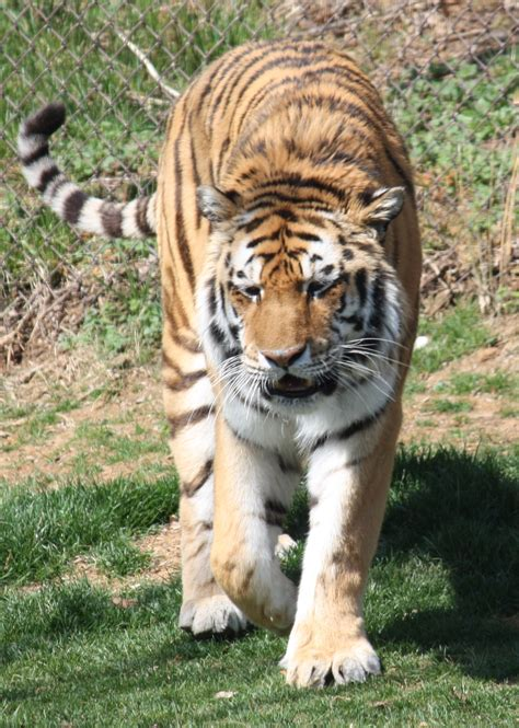 amur tiger wallpapers high quality
