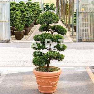 Arbre En Nuage : arbres nuages ilex crenata kimme japonais 120 140 cm art garden ~ Melissatoandfro.com Idées de Décoration