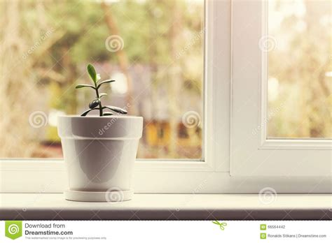 Small Indoor Crassula Plant In Pot On Window Sill Stock