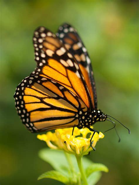 monarch butterfly monarch butterfly   butterfly