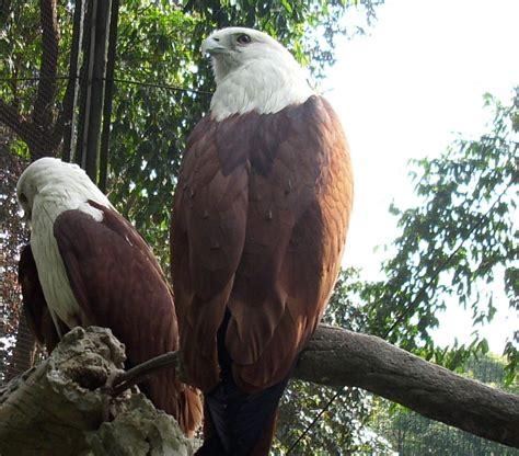 flora fauna indonesia elang bondol burung tipe