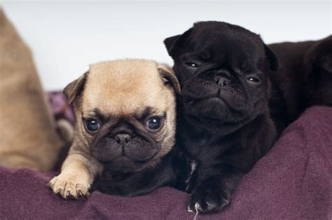 The Real Information About Teacup Pugs You Can't Afford to ...