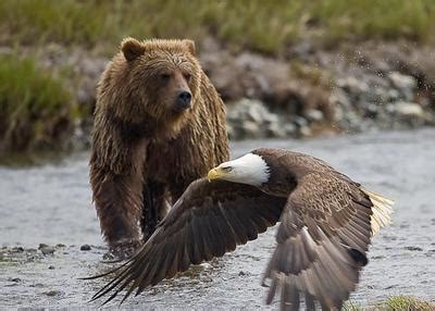Eagles Bears vicious bear stuff people send  page 400 x 286 · jpeg