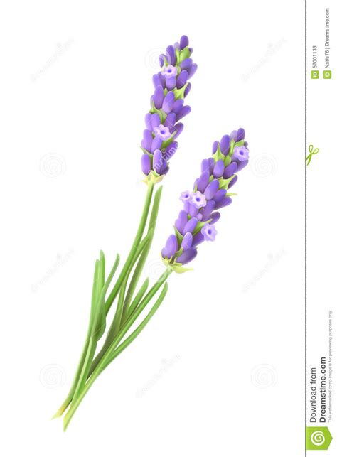 lavender flowers vector illustration stock vector image