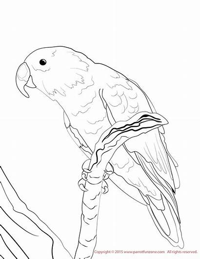 Coloring Conure Eclectus Male Pages Female Drawings