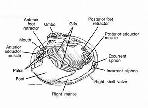 Bestseller  Biology Junction Clam Dissection Answer Key