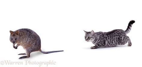 Slinky silver cat approaching Quokka photo WP00311