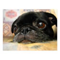 Pug Puppies with Big Eyes