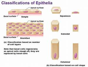 Eight Types Of Epithelial Tissue