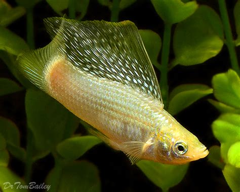 brackish water fish  sale aquariumfishnet