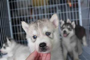 Siberian Husky Puppy Sold - 1 Month, Blue Eyes Grey Color ...