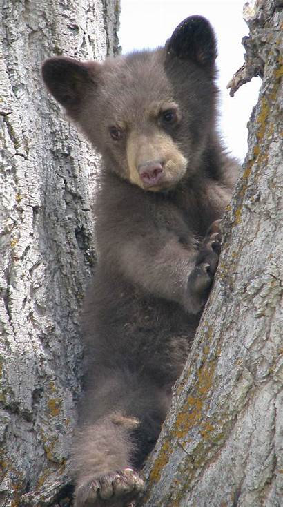 Bear Carnivores Alabama Credit Pat Outdoor Dorsey