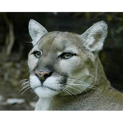 Mountain Lion (Puma concolor) · iNaturalist.org