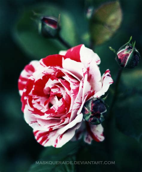 painting  roses red  maskqueraide  deviantart