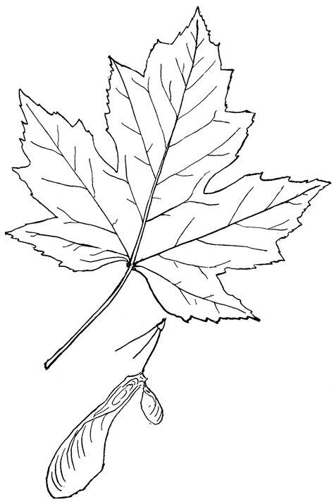 genus acer  maple clipart