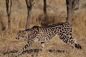 Baby King Cheetah | www.pixshark.com - Images Galleries ...