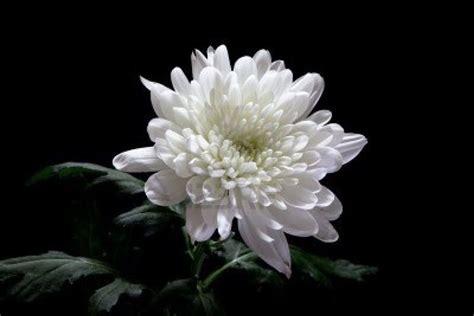 crisantemi significato significato fiori il