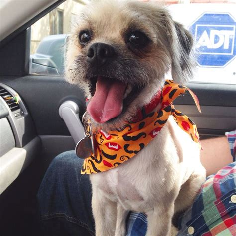 Wally The Pugapoo Half Pug Half Poodle All S Dogs Pinterest Poodles Pug And The O
