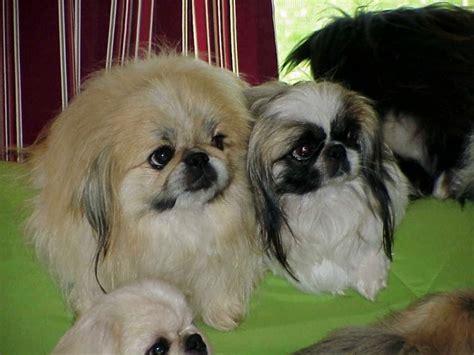 toy  sleeve pekingese pekingese puppies  sale
